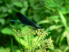 Motýlice